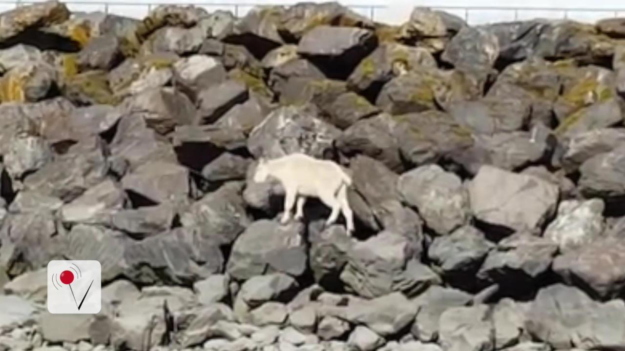 Mountain Goat Drowns Fleeing From Curious Tourists
