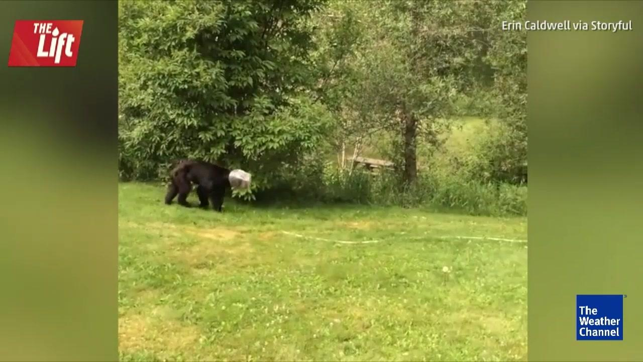 Man Ropes Wild Bear with Jar on Head