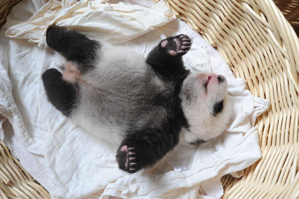 Watch: adorable baby pandas greet first visitors at the zoo