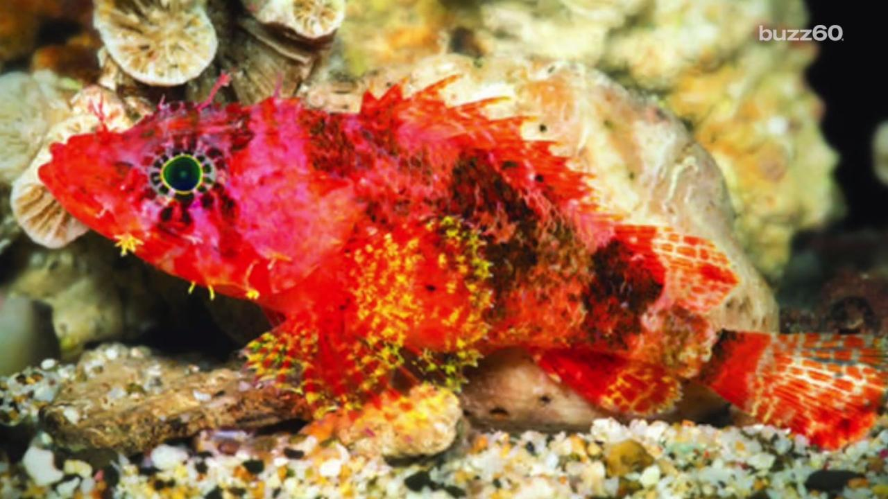 Vibrant new \'starburst\' fish discovered deep in the Caribbean Sea ...