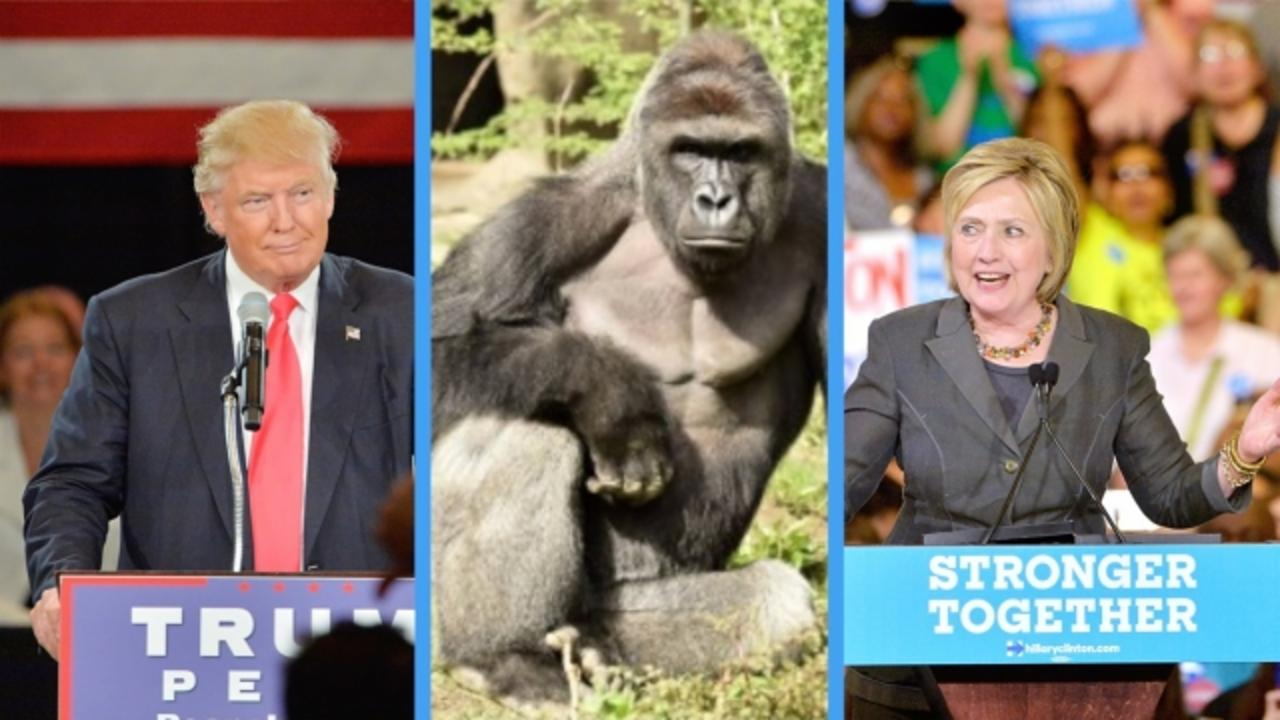 Clinton, Trump, Harambe? Poll Says Gorilla Would Win 5 Percent of Vote