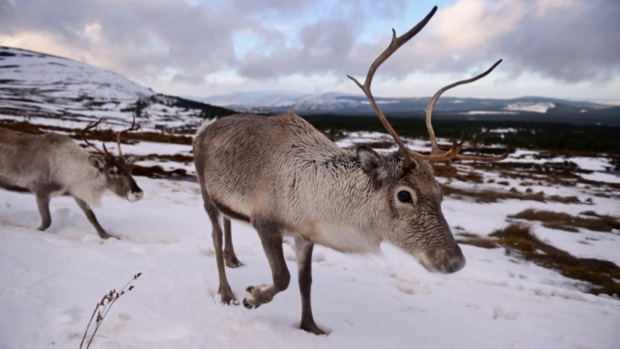 A Reindeer Might Have Caused Siberia's Sudden Anthrax Outbreak