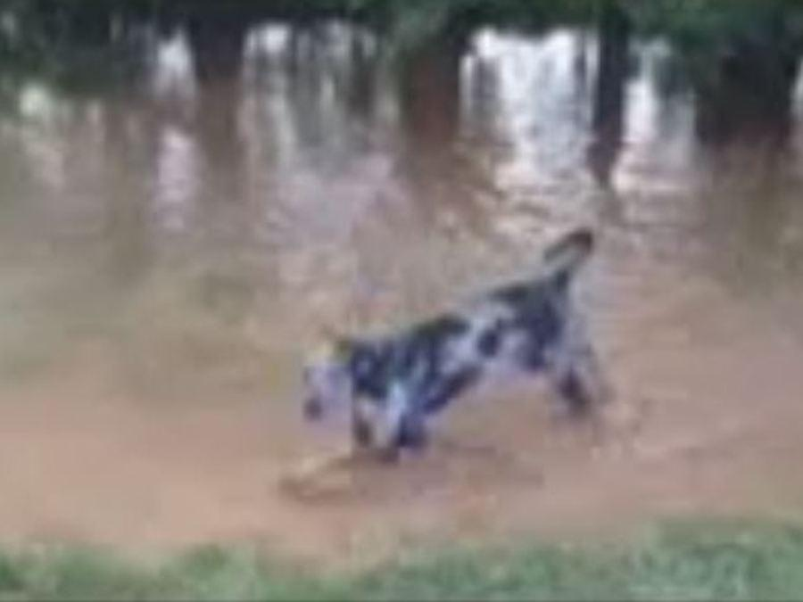 Dog Rescued After Being Left Chained Up During Flooding