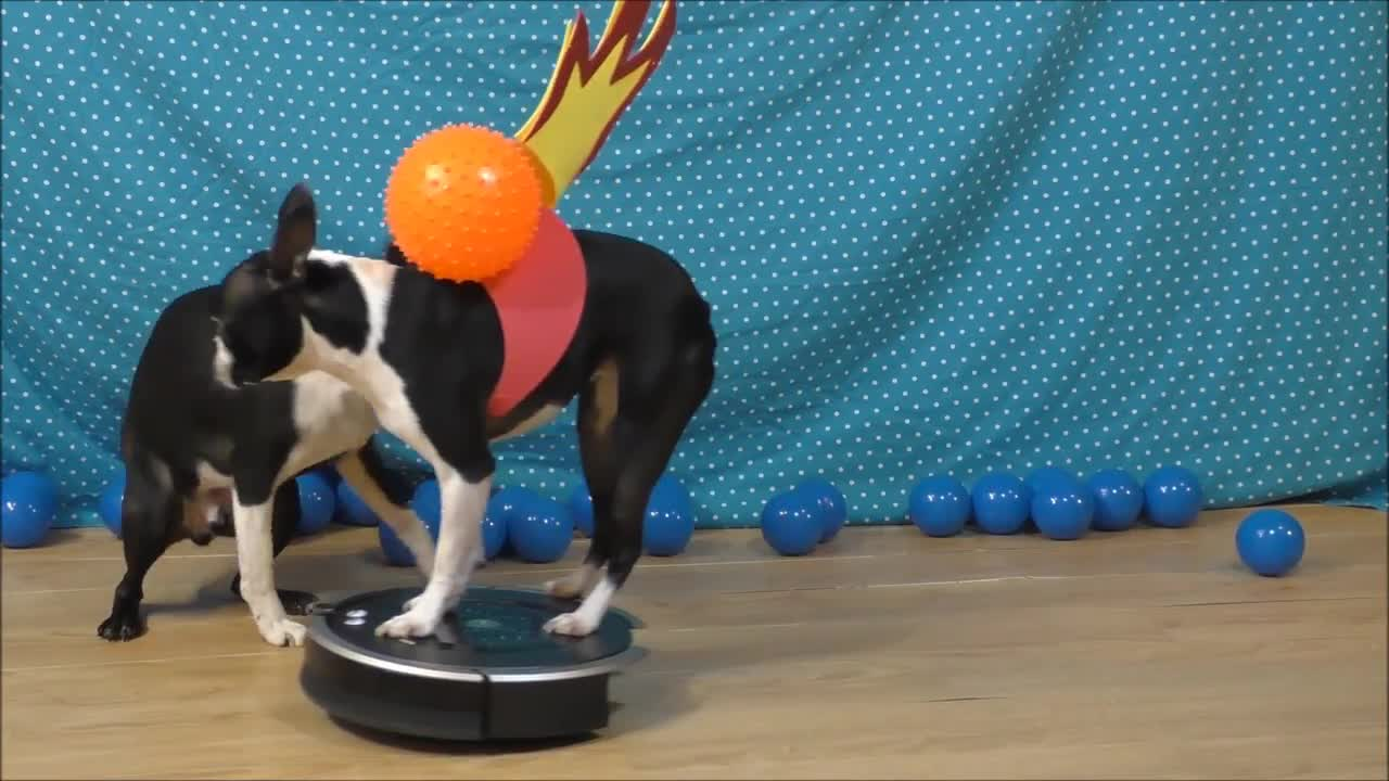 Dog on Roomba reenacts how dinosaurs became extinct