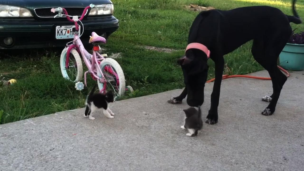 Large Dog Plays With Small Kittens