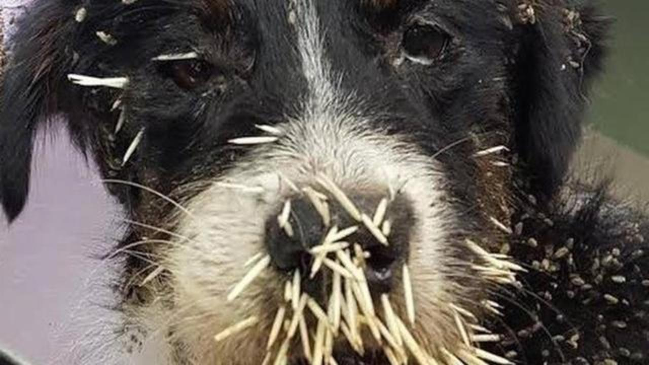 Heartbreaking Photos Show Stray Dog's Face Full Of Quills After Encounter With Porcupine