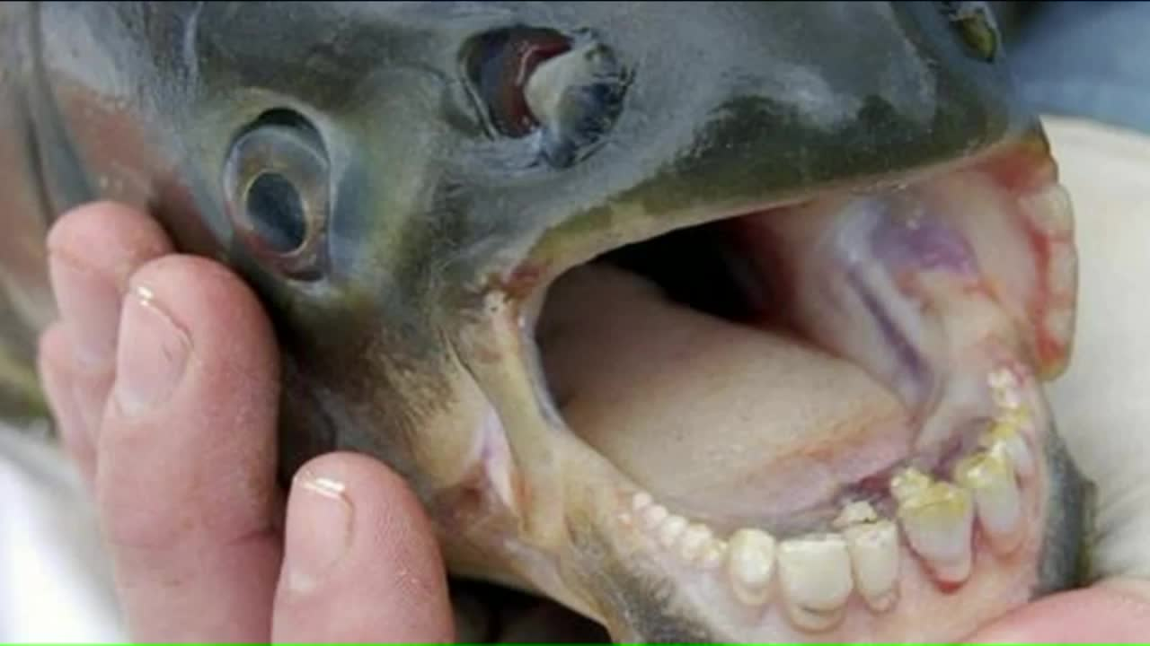 Fish With 'Human-Like Teeth' Found Swimming in Two Michigan Lakes