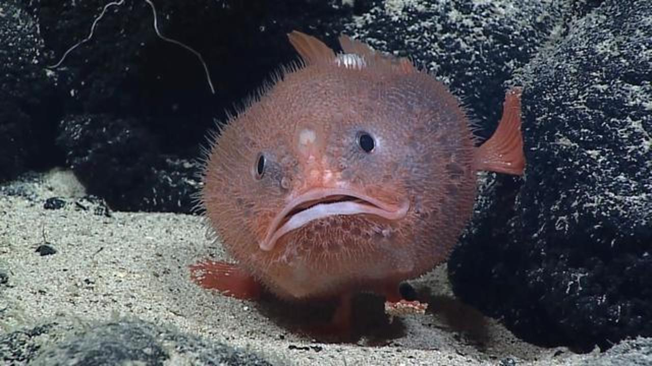 This Always Sad-Looking Sea Toad Will Melt Your Heart
