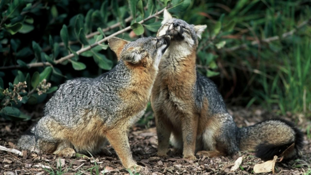 Channel Island Foxes Quickly Recover From Near Extinction