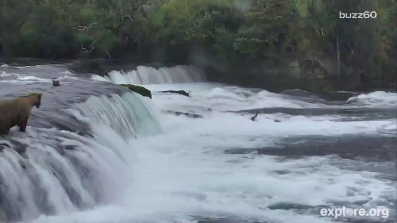 Mama Bear Runs After Cubs Who Fall Down Waterfall