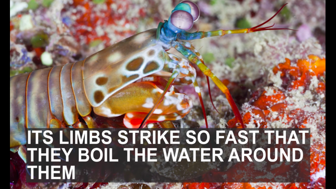 The mantis shrimp is the most beautiful and deadly animal in the world