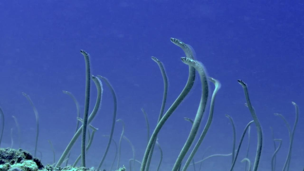 No, the Ocean Didn't Grow Hair - It's the Garden Eel!