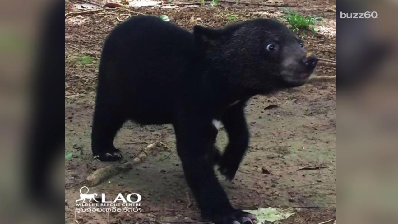 Rescued Bear Cub Is So Excited for Her New Home After Dangerous Journey