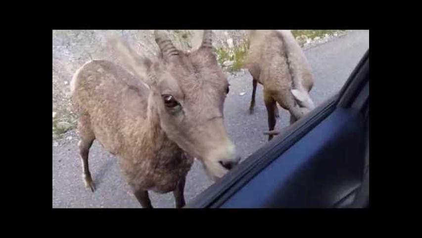 Bighorn Sheep Develop a Taste for Car in Jasper National Park