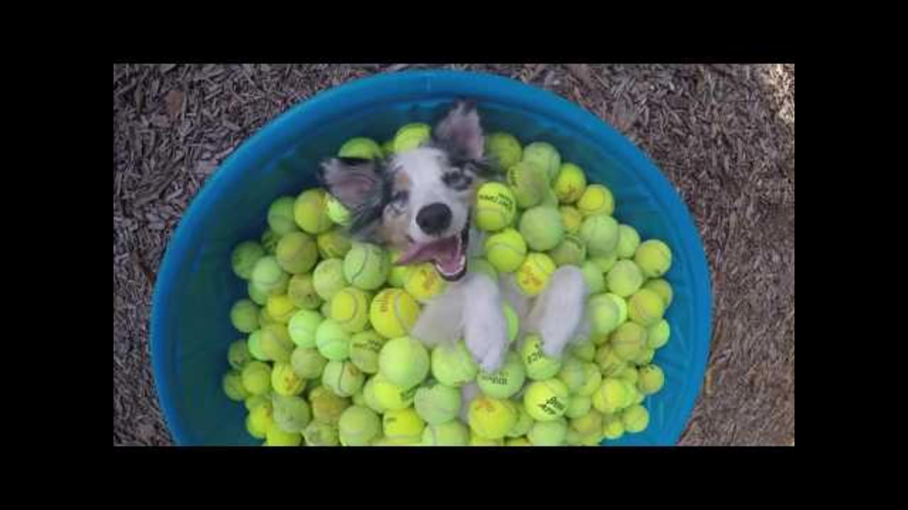 Ecstatic Dog Chills in Container Full of Tennis Balls