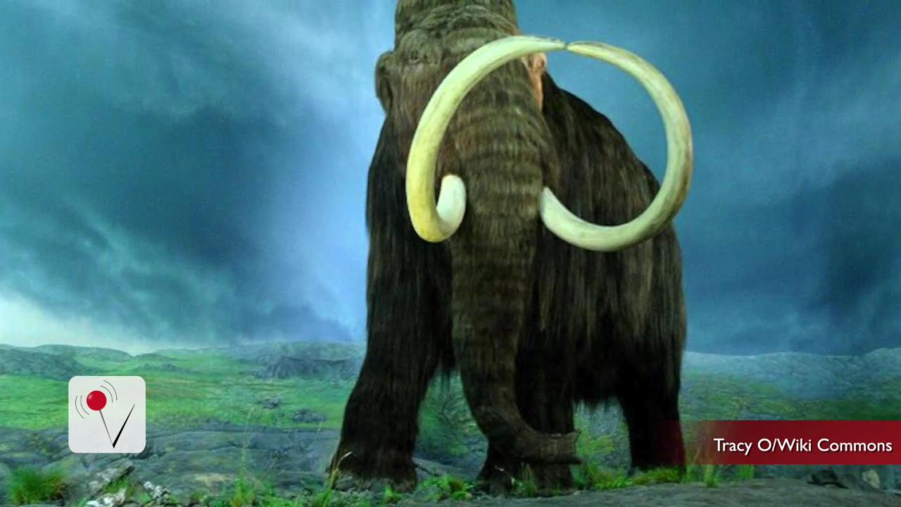Scientists Say Woolly Mammoth Will Return