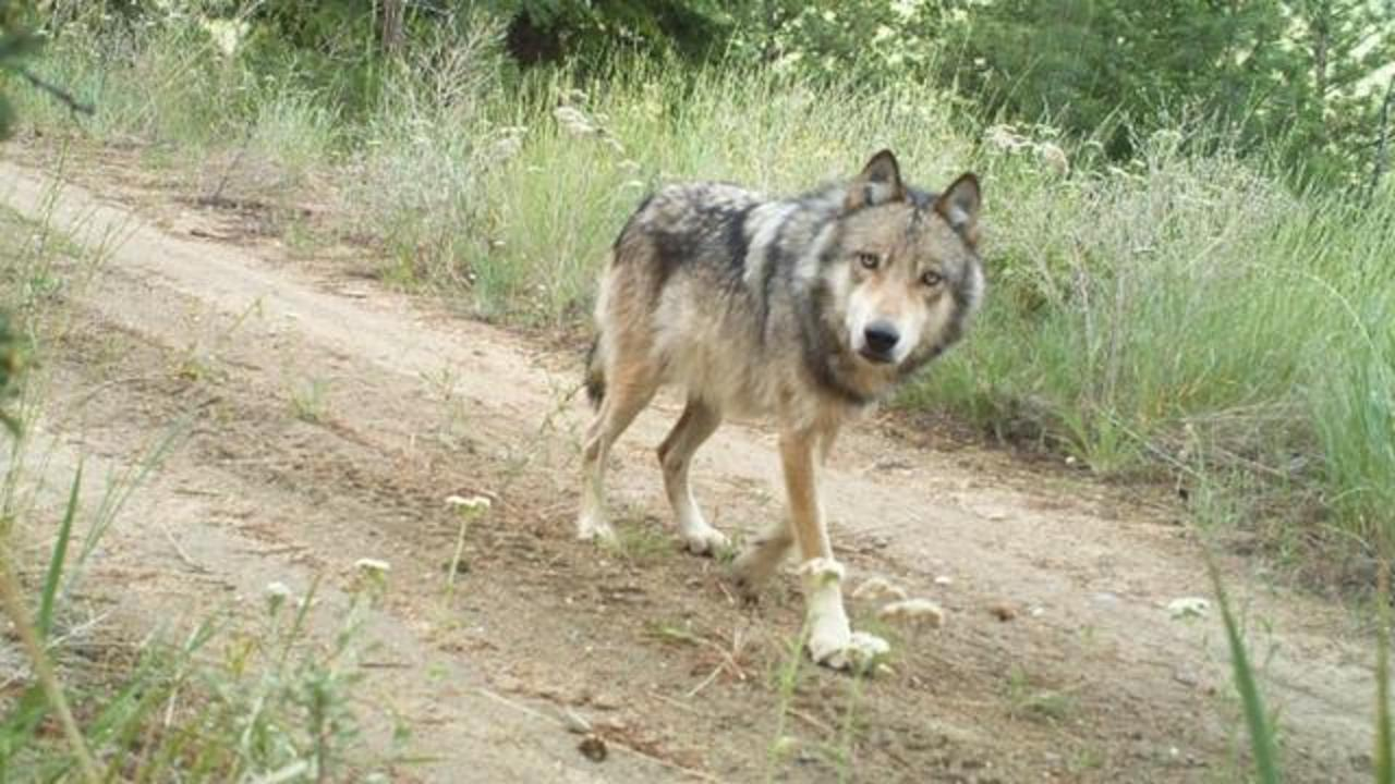 Washington State To Kill Endangered Wolf Pack After Cows Found Dead