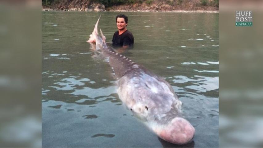 B.C. Fishermen Wrangle a Whopper of a Sturgeon
