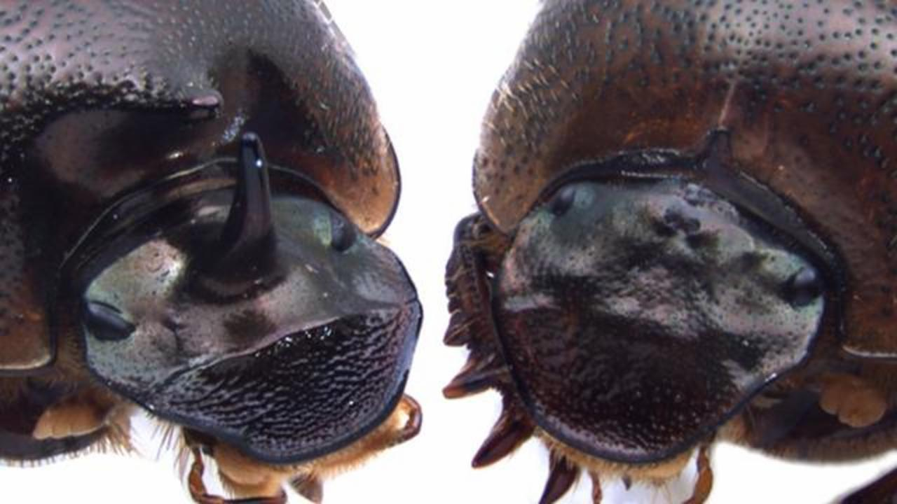 Deactivating A Gene In Beetles Resulted In Growth Of Bizarre New Body Part
