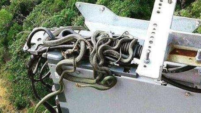 Field Engineer Spots Group Of Snakes Wrapped Around Wires On 125-Foot Tower