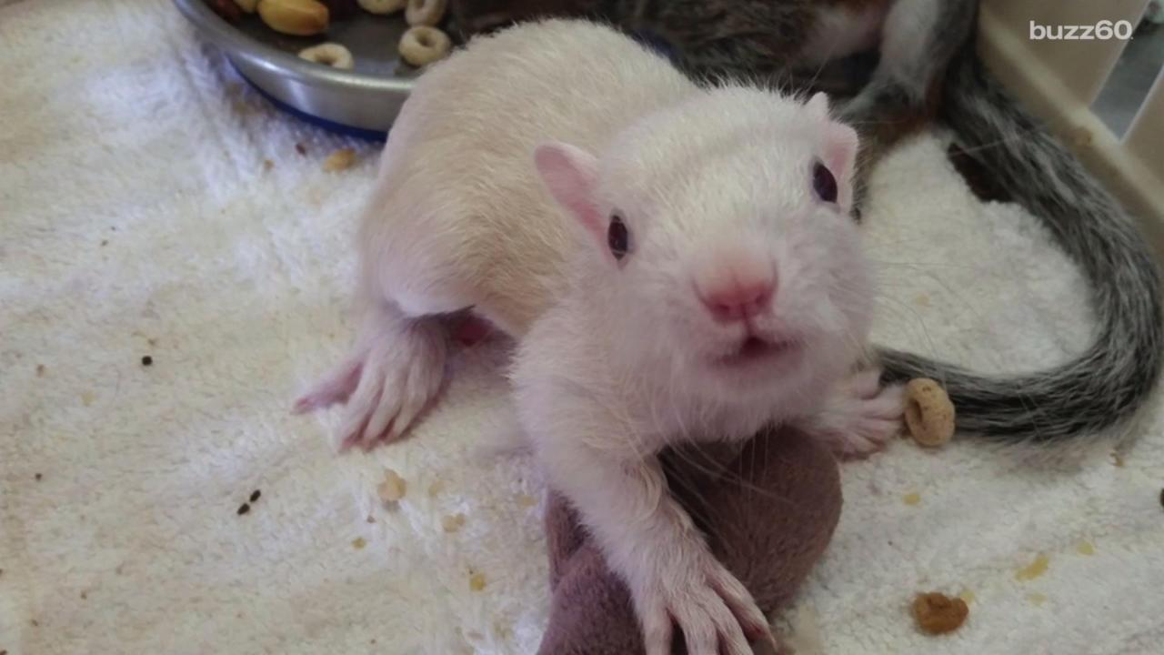 Sanctuary Takes Care of Rare Albino Squirrel