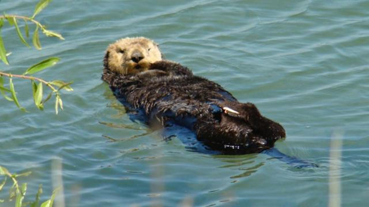 Sea Otters Found Dead In California With Gunshot Wounds