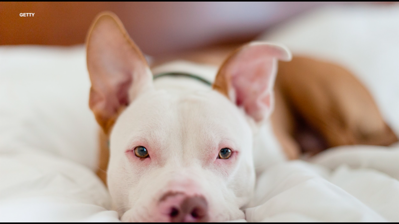 10 amazing reasons to love pit bulls