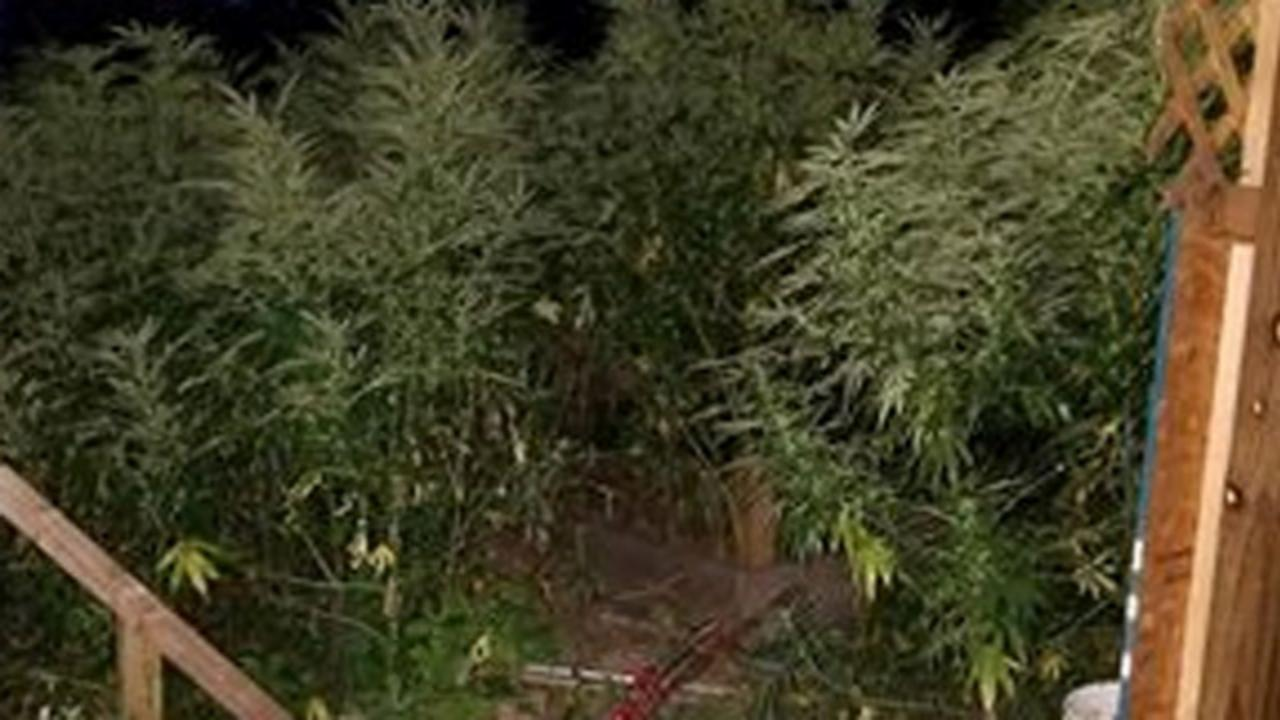 Police Find 600 Marijuana Plants at Connecticut Day Care