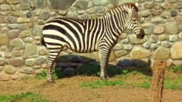 Animal World - Zebra