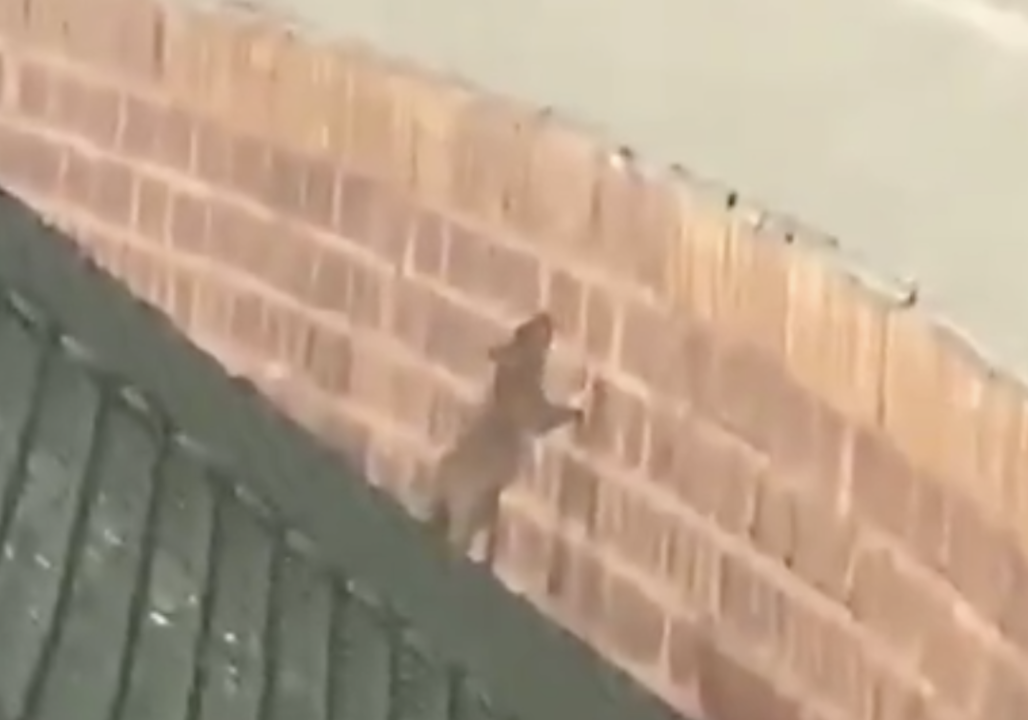 Sports Top Stories - 'Wrigley Rat' Finds New Fans While Trying to Jump Field Wall