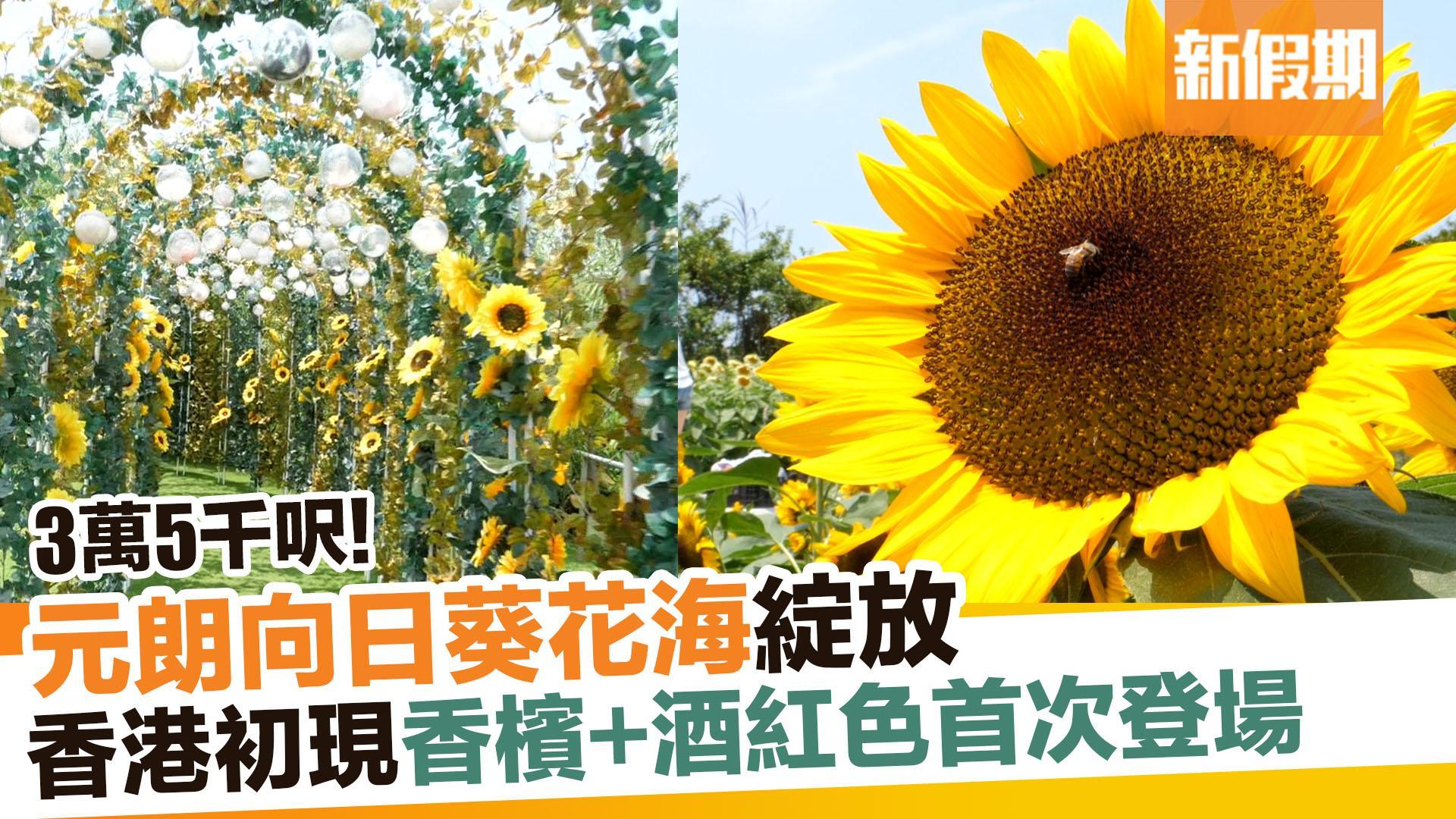 【香港好去處】元朗信芯園向日葵花海綻放 全新香檳色及紅色首次登場!|新假期